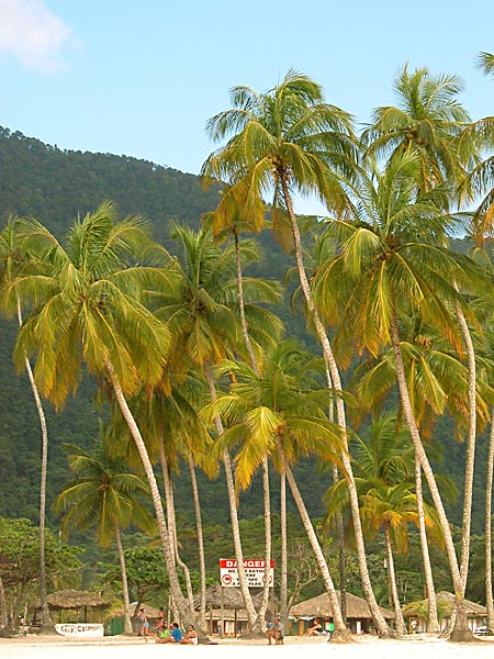 Coconut Trees at Maracas