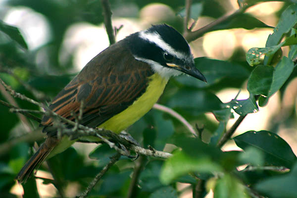 Portrait of a Kiskadee